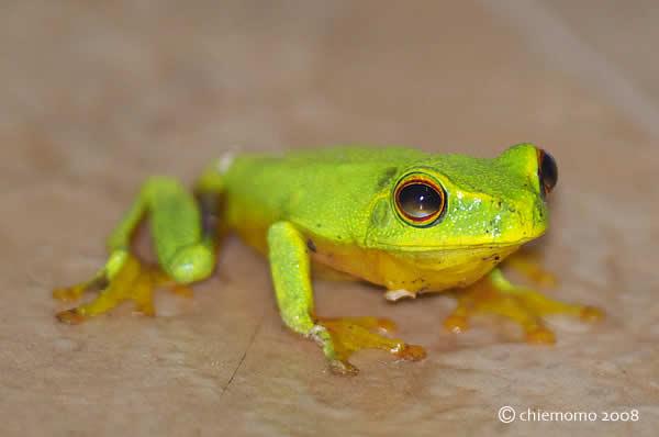 Orangethighed_frog