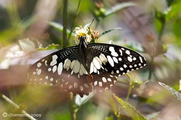 Papilio_demoleus_1