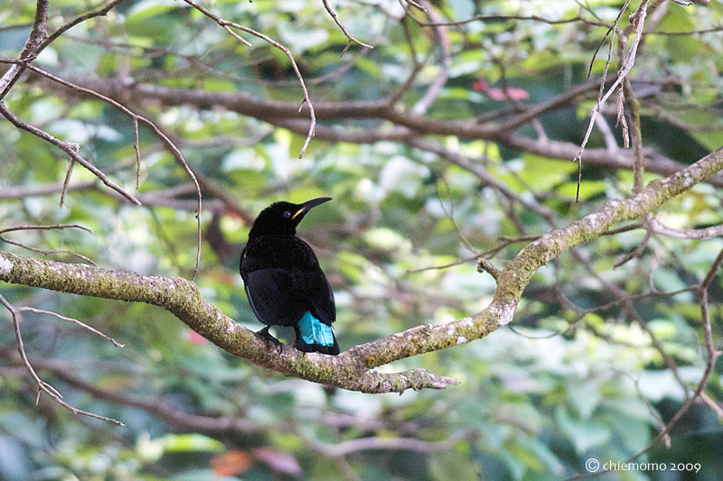 Ptiloris_victoriae