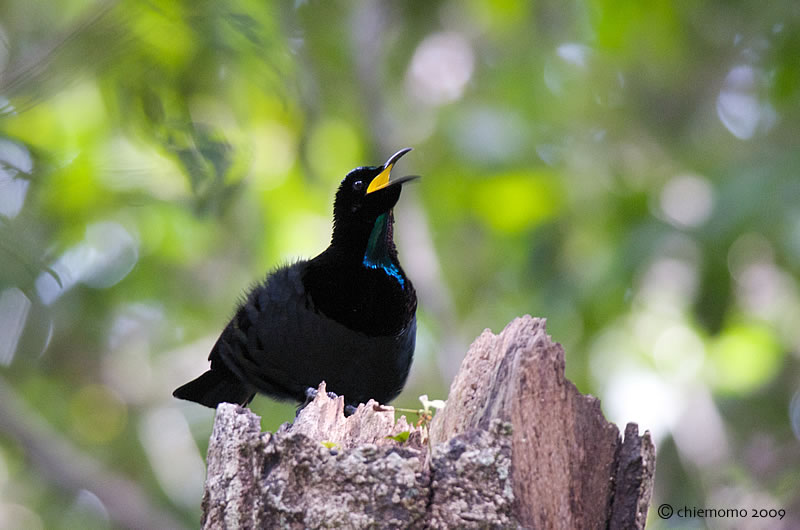 Ptiloris_victoriae_1