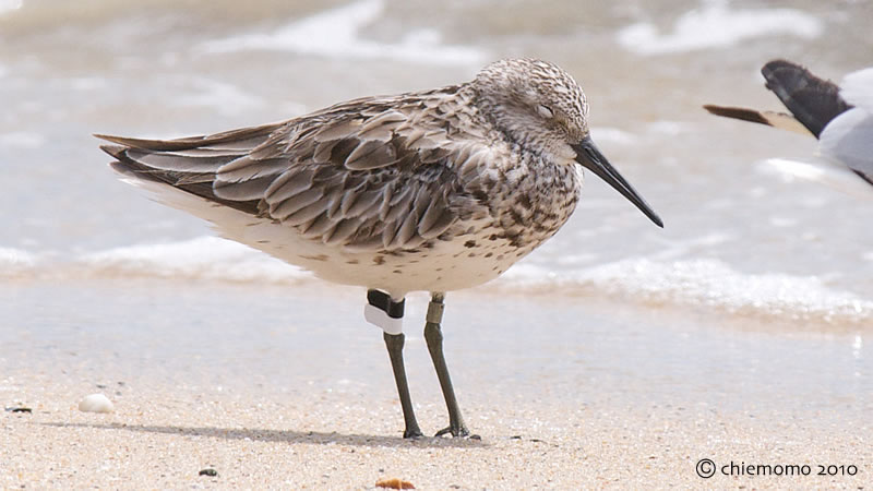 Calidris_tenuirostris_wz_flag_13