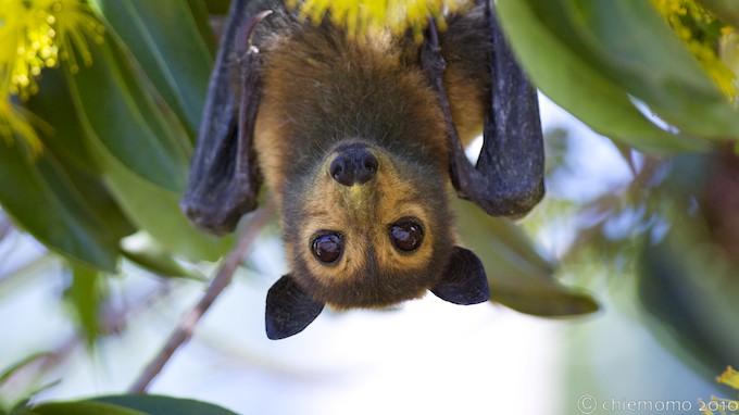 オオコウモリの画像 p1_25